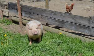 schwein-0